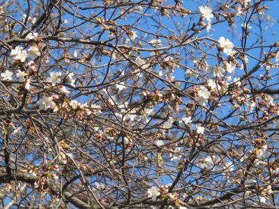 角館武家屋敷通りのライブカメラ 開花状況 角館桜まつり