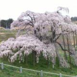 三春町の「滝桜」を映すライブカメラ 開花状況