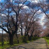 北上展勝地さくらまつりのライブカメラ 桜の開花状況や見頃【2020】