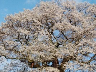 醍醐桜のライブカメラ 桜の開花状況 真庭市