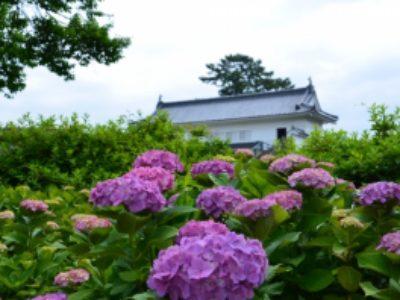 小田原城周辺の安い駐車場 あじさい花菖蒲まつりの開花状況【2019】